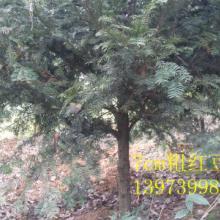供应福建红豆杉陈种,福建红豆杉陈种批发价,福建红豆杉陈种供货商图片