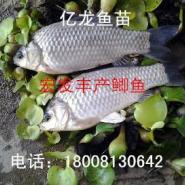 鲫鱼罗非鱼苗2015自贡销售图片