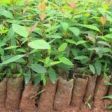 供应优质桉树苗低价甩卖