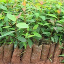 供应桉树苗生产基地
