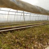 中山杉小苗供应,中山杉小苗种植地,中山杉小苗大量销售