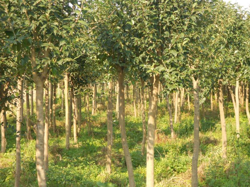 供应盐城银杏树苗种植地,大丰银杏树苗生产基地,江苏哪里银杏最便宜