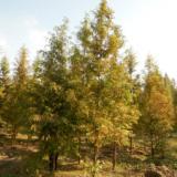 安微水杉供应,专业种植水杉,水杉苗价格