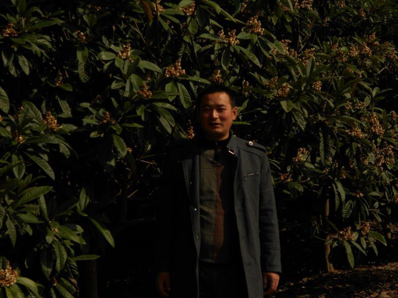 供应枇杷小苗销售,枇杷苗的栽培。枇杷树供应